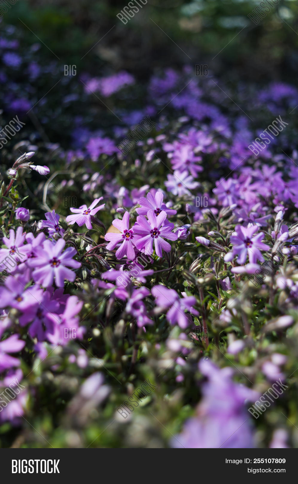 Purple Woodland Phlox Image Photo Free Trial Bigstock