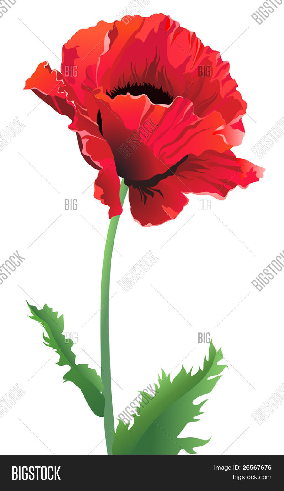 Isolated Poppy Flower Image Photo Free Trial Bigstock