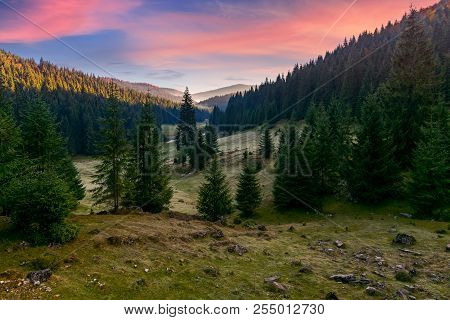 Spruce Forest In Foggy Valley At Reddish Sunrise. Beautiful Autumn Landscape In Mountains. Apuseni N