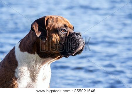 The Dog Breed Is A German Boxer Male Sitting On A Background Of Blue Water With Small Waves, Looking