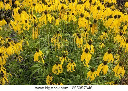 Black Eyed Susan Flower Background. Group Of Black Eyed Susans Perennials In A Summer Flower Garden.