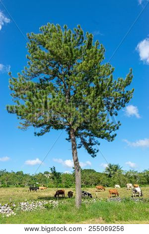 Pine Cone (conifer) Tree And Cows Grazing The Field In Rural Jamaica