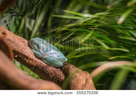 Chinese Gliding Tree Frog In Aquarium In Berlin (germany)