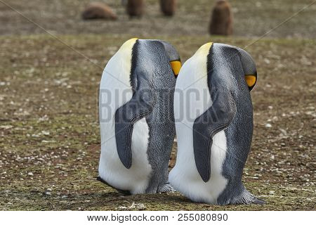 King Penguins (aptenodytes Patagonicus) Appear Headless As They Rest By Standing With Their Head Res