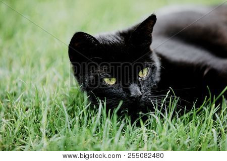Cute Black Cat Lying On Green Grass And Looking Mistrustfully At Red Cherry. Black Cat Superstition