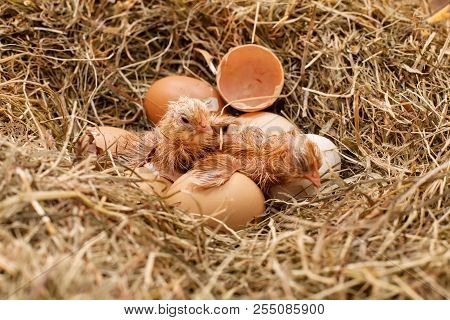 Two Newly Hatched Chicken Resting In The Hay Nest - Still Drying Their Fluff, Wide Shot
