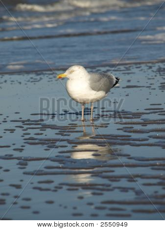 Seagull Standing In The Ocean