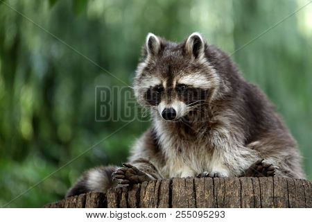 Portrait Full Body Of Lotor Common Raccoon On The Tree Trunk. Photography Of Nature And Wildlife.