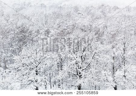 Above View Of Snow Oak Grove In Woods Of Timiryazevskiy Park In Moscow In Winter