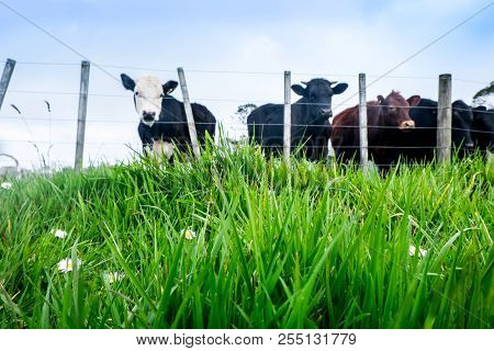 Low Angle With Shallow Depth Of Field: Focus Is On Lush Grass. Blurred Beef Cattle In Background In