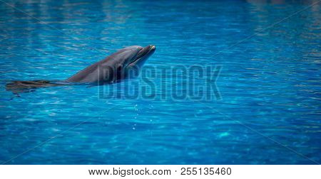 Swimming Bottlenose Dolphins In Zoo During Show.