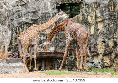 Giraffe (in The Wild) Drinking Water In Wooden Tray For Animal Background Or Texture.
