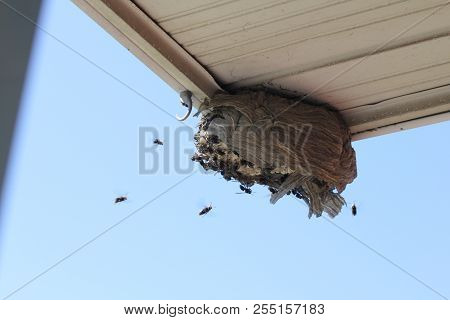 Bald Faced Hornets Flying To A Broken Nest On The Eaves Of A Residential Home.