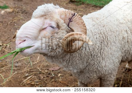 Sheeps In Agriculture Farm.