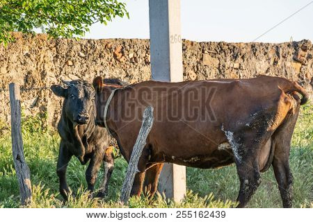 Mating The Bull And The Cow, Conceptual Photo