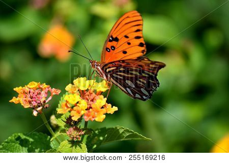 Vibrant Color Great Spangled Fritillary Butterfly At A Butterfly Garden Background