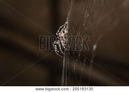 Spider Araneus (garden-spider) Kind Araneomorph Spiders Of The Family Of Orb-web Spiders (araneidae)