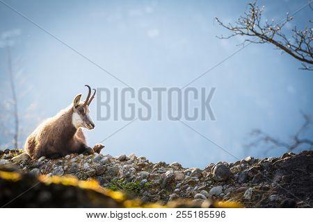 Chamois (Rupicapra rupicapra) in mountains