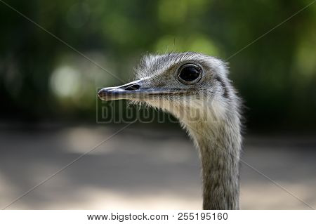Close-up Portrait Of Grey Greater Rhea (rhea Americana). Photography Of Nature And Wildlife.