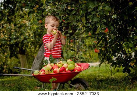 Child Picking Apples On A Farm. Little Boy Playing In Apple Tree Orchard. Kid Pick Fruit And Put The