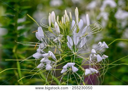 White Spider Flower, Cleome, Closeup, Flora, Isolated