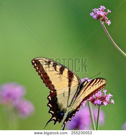 Beautiful Yellow Swallowtail Butterfly Feeding On A Pink Flower, Closeup