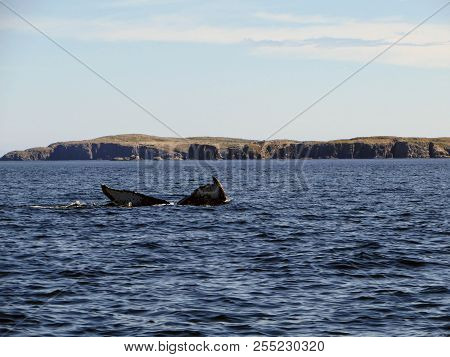 humpback whale submerging off the coast of Bonavista. Newfoundland, Canada poster