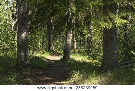 Trail, Path In A Forest. Fir, Spruce Trees And Forest In The Surrounding.