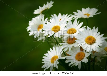 Bouquet Of Daisy