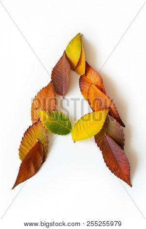 Letter A of colorful autumn leaves. Character A mades of fall foliage. Autumnal design font concept. Seasonal decorative beautiful type mades from multi-colored leaves. Natural autumnal alphabet.
