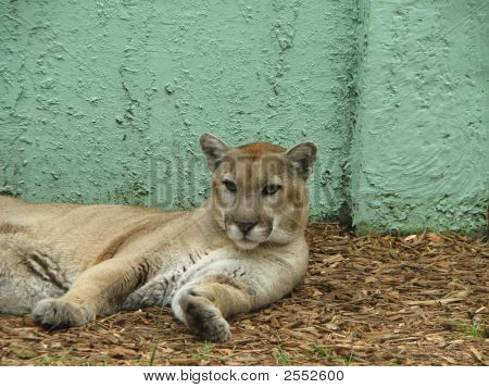 A Florida panther resting but very alert in Florida zoo poster
