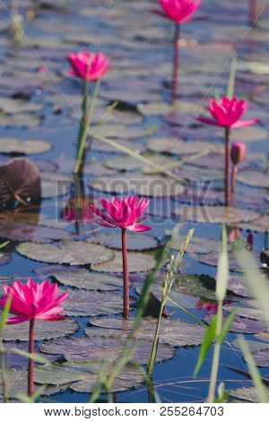 The Beauty Of Lotus In The Morning At Taunggyi In Myanmar