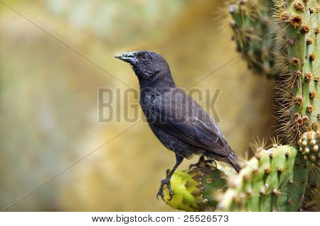 Galapagos Common Cactus Finch