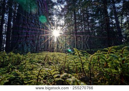 Forest Conifers Sun Beam Rays Through Trees Low Moss Green Colors