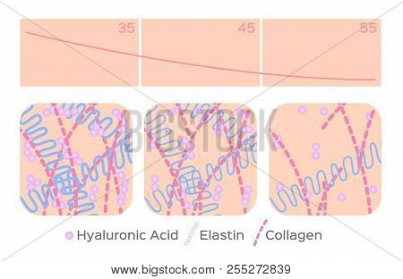 aging skin level vector / hyaluronic acid / elastin / collagen poster