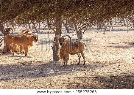 Mountain rams in reserve, natural habitat. Island Sir Bani Yas, UAE, Abu Dhabi. poster