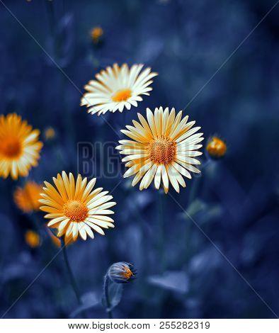 Camomile. Chamomel, Daisy Chain, Wheel. An Aromatic