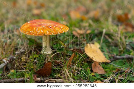 Single Red Mushroom With White Spots On Grass In Autumn With Copy Space