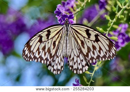 Black And White Paper Kite Butterfly, Rice Paper Butterfly, Large Tree Nymph, Pattern, Blurred Backg