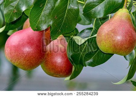 Three Healthy Looking Red And Green Pears Hanging From A Tree, Surrounded By Green Leaves, Closeup