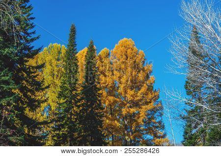 Colorful Autumn Scene That Includes Trees Of Three Different Colors