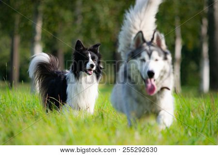 Dogs Play With Each Other. Border Collie. Merry Fuss. Aggressive Dog. Training Of Dogs. Education, C