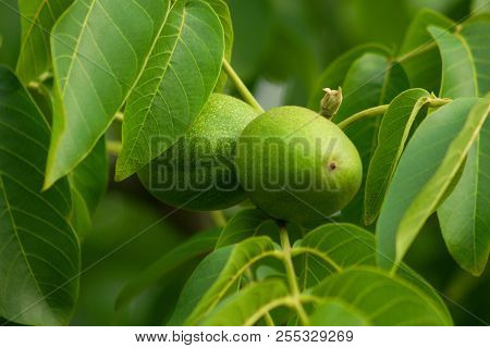Branch on walnut tree.Detail of unripe fruit of walnut.Juglans regia/Jovis glans. Fruits and leaves of walnut. Nuts support brain activity. poster