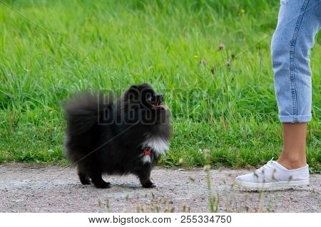Puppy Pomeranian Spitz listens to the owner and performs functions on the command. Obedient and intelligent dog. Education, cynology, intensive training of young dogs. Young energetic dog on a walk. Enjoying, playing, happy poster
