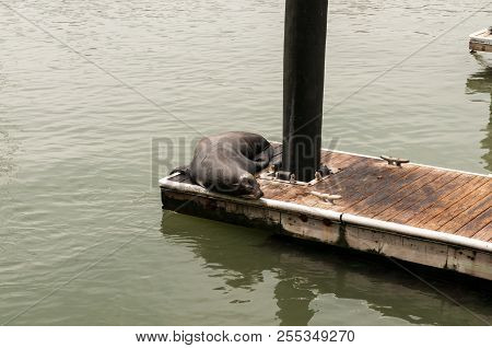 Sea Lions Basking On A Pier In San Francisco Near Pier 39.