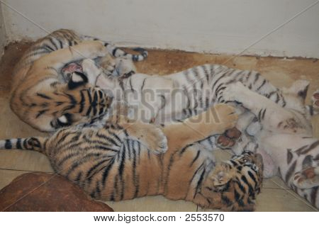 Baby white and brown bangel tigers playing in the zoo. poster