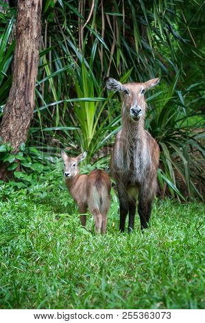 Waterbuck With Baby In National Park Of Kenya, Africa