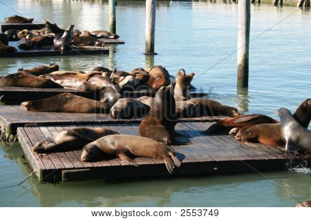 several seal resting on a flloating platform poster