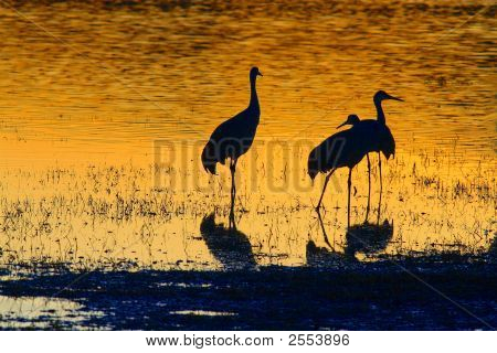 Three Sandhill Cranes standing in water at sunset poster