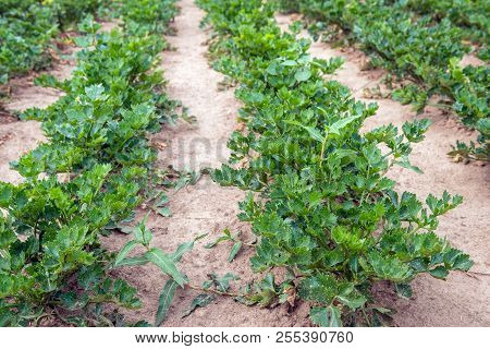 Celeriac Plants In Rows. The Plants Are Grown Organically And Therefore Weeds Are Also Growing Betwe